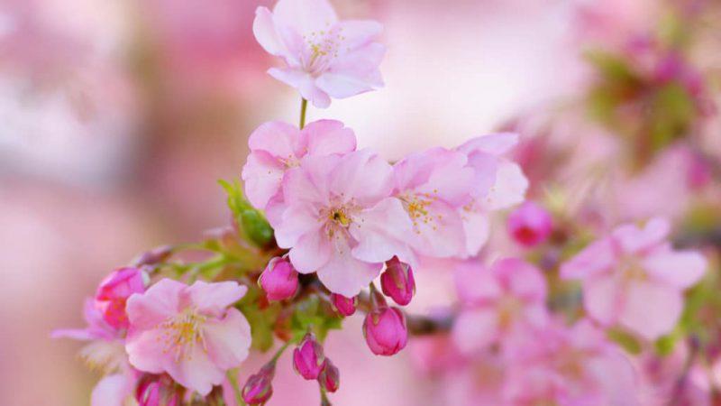 【デイサービス】お花見ドライブ